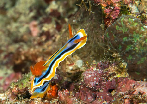 Makro eines Nagas Chromodoris-Nacktschnecken kriecht auf Korallen – Foto