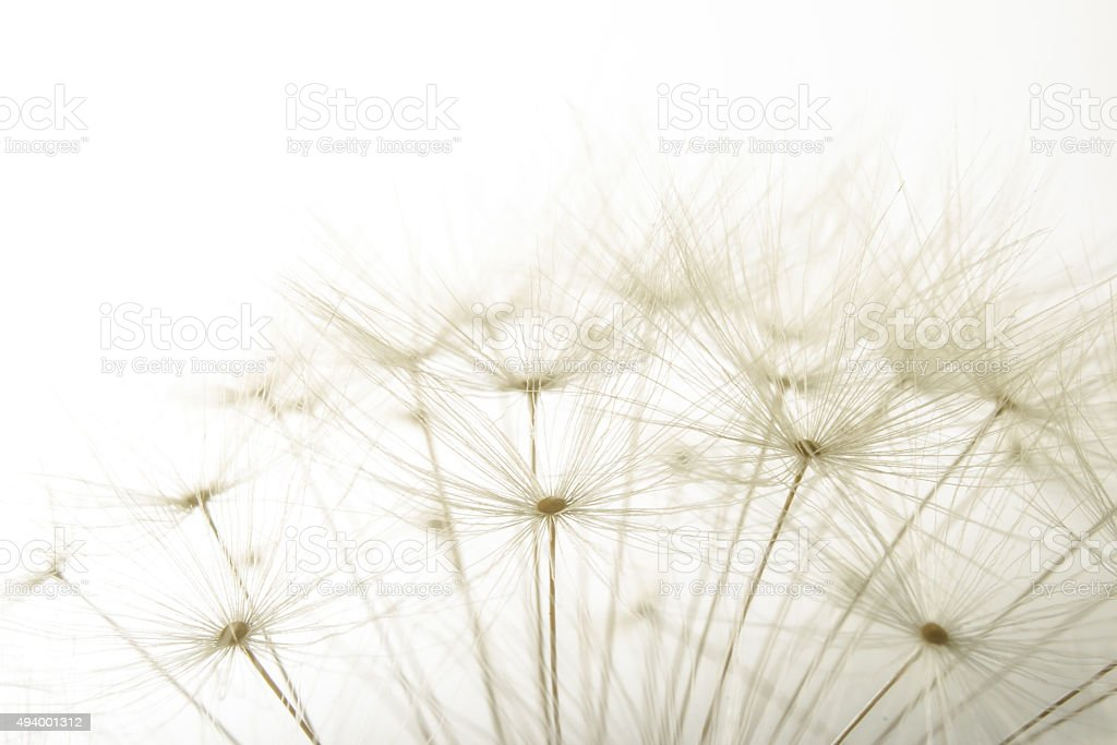 macro of an overblown fluffy dandelion stock photo
