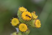 Macro of ant on golden Tansy flower, covered in pollen and tiny spiderwebs. Out of focus green background with room for copy.