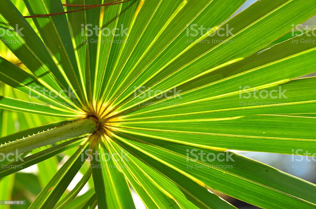 Macro of backlit Saw Palmetto leaf stock photo