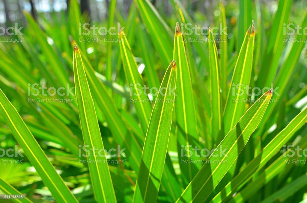 Macro of backlit Saw Palmetto leaf tips stock photo