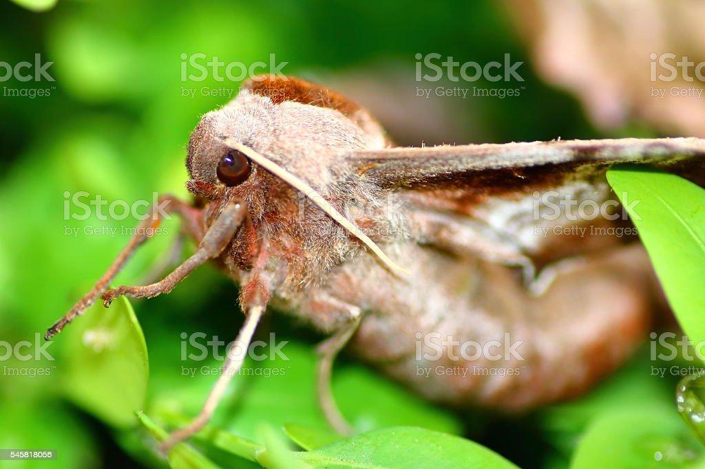 Macro of beautiful brown Poplar Hawk-Moth butterfly on boxwood leaves stock photo