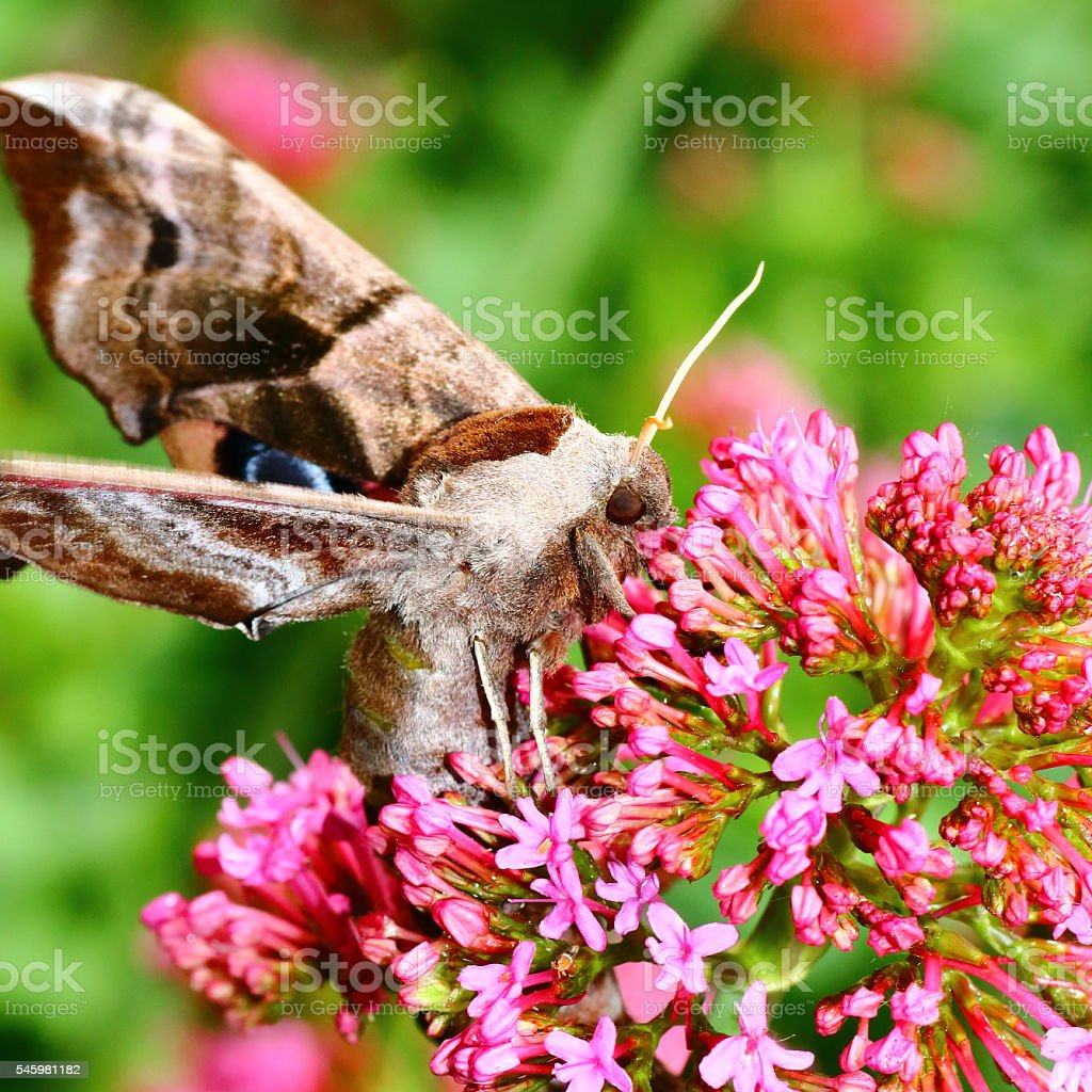 Macro of beautiful brown Poplar Hawk-Moth butterfly on Valerian flower stock photo