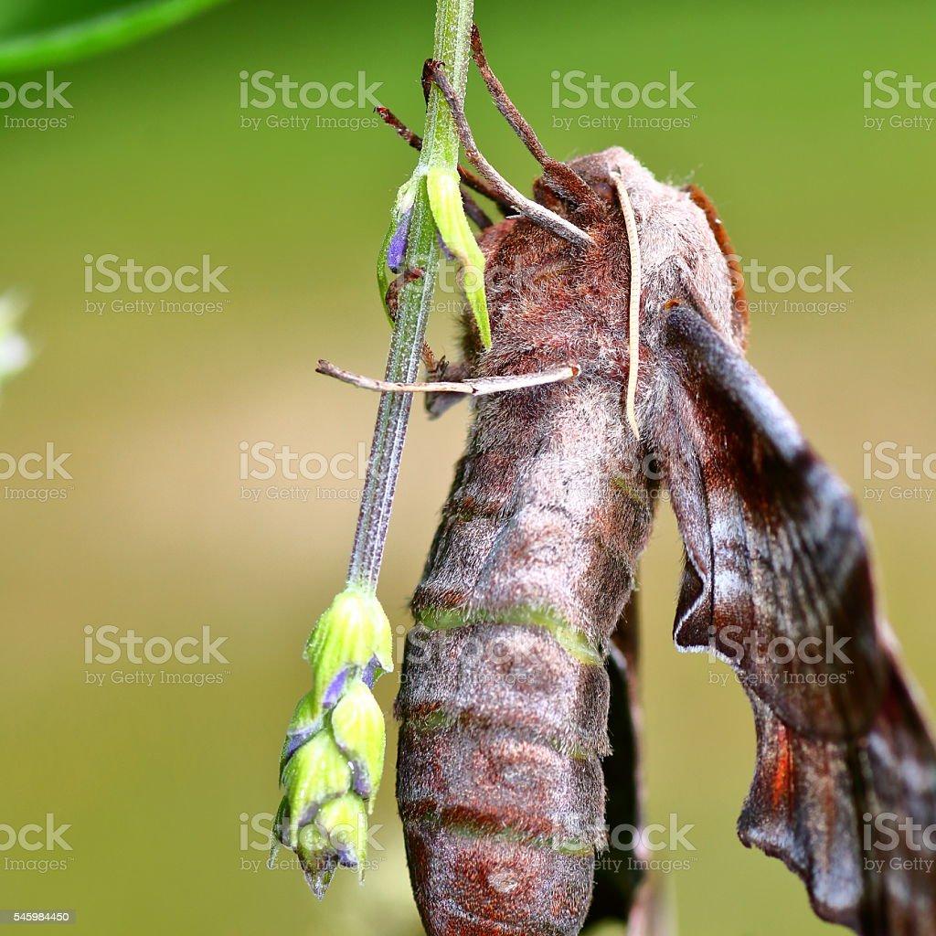 Macro of beautiful Poplar Hawk-Moth butterfly on lavender flower bud stock photo