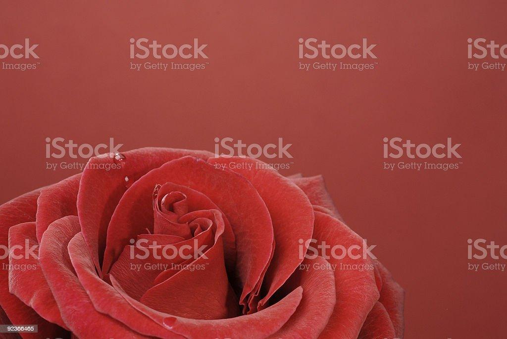 Makro von schöne Rote rose mit Wasser Tropfen Lizenzfreies stock-foto