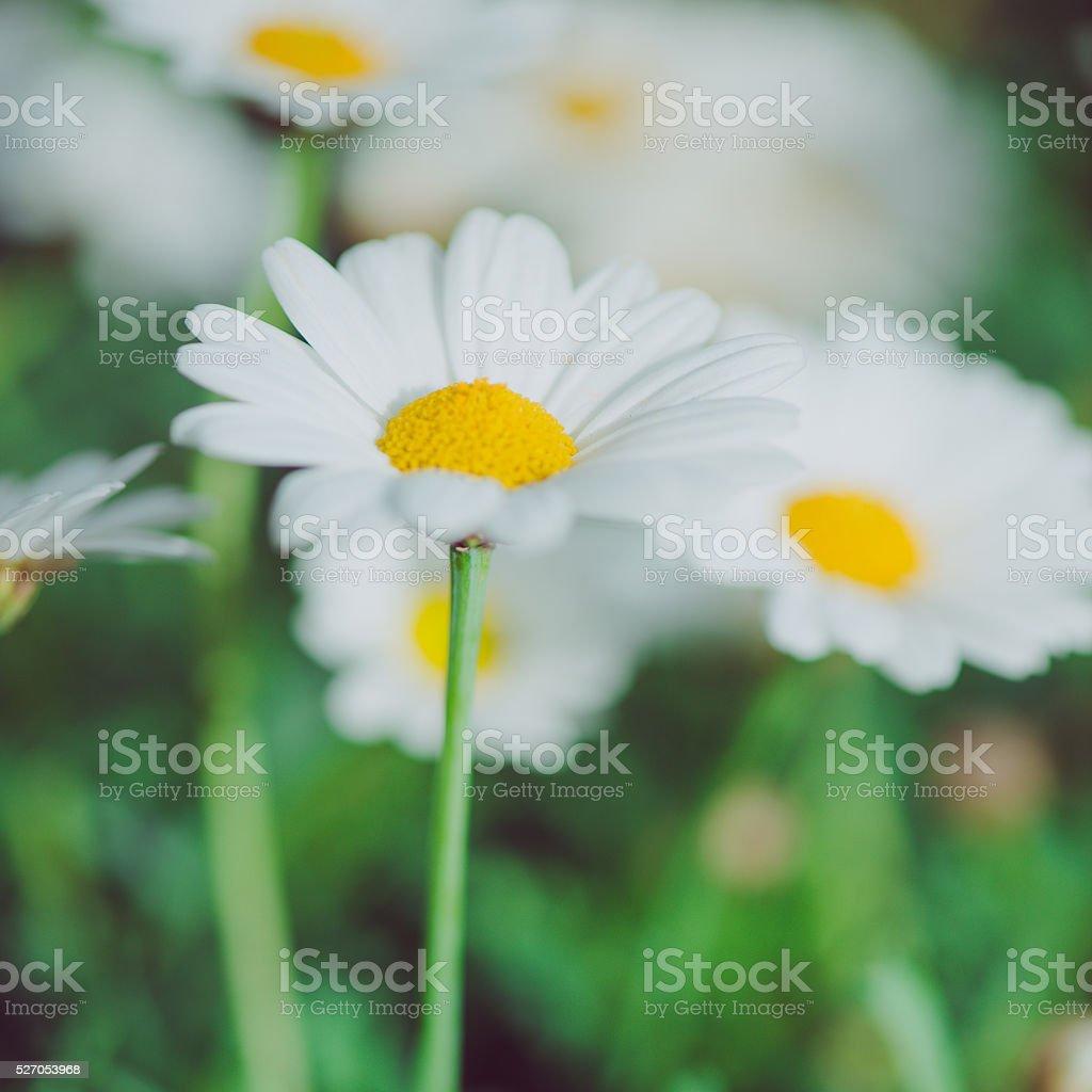 Macro of beautiful white daisies flowers daisy flower stock photo macro of beautiful white daisies flowers daisy flower royalty free stock photo izmirmasajfo