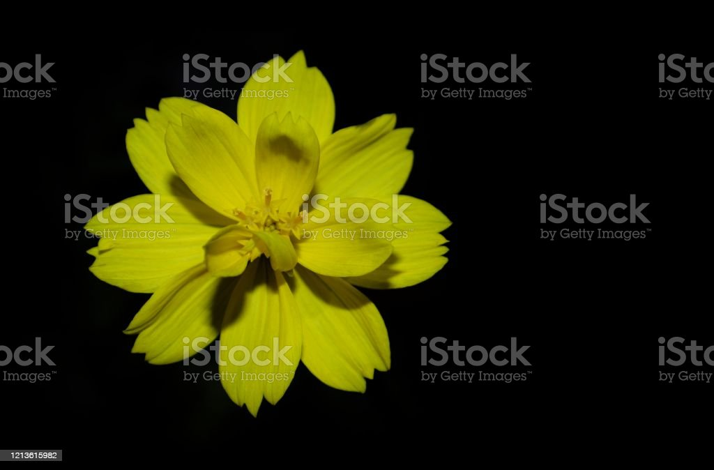Macro Of Beautiful Yellow Flower Isolated In Black Background With Copy Space Perfect For Wallpaper Stock Photo Download Image Now Istock