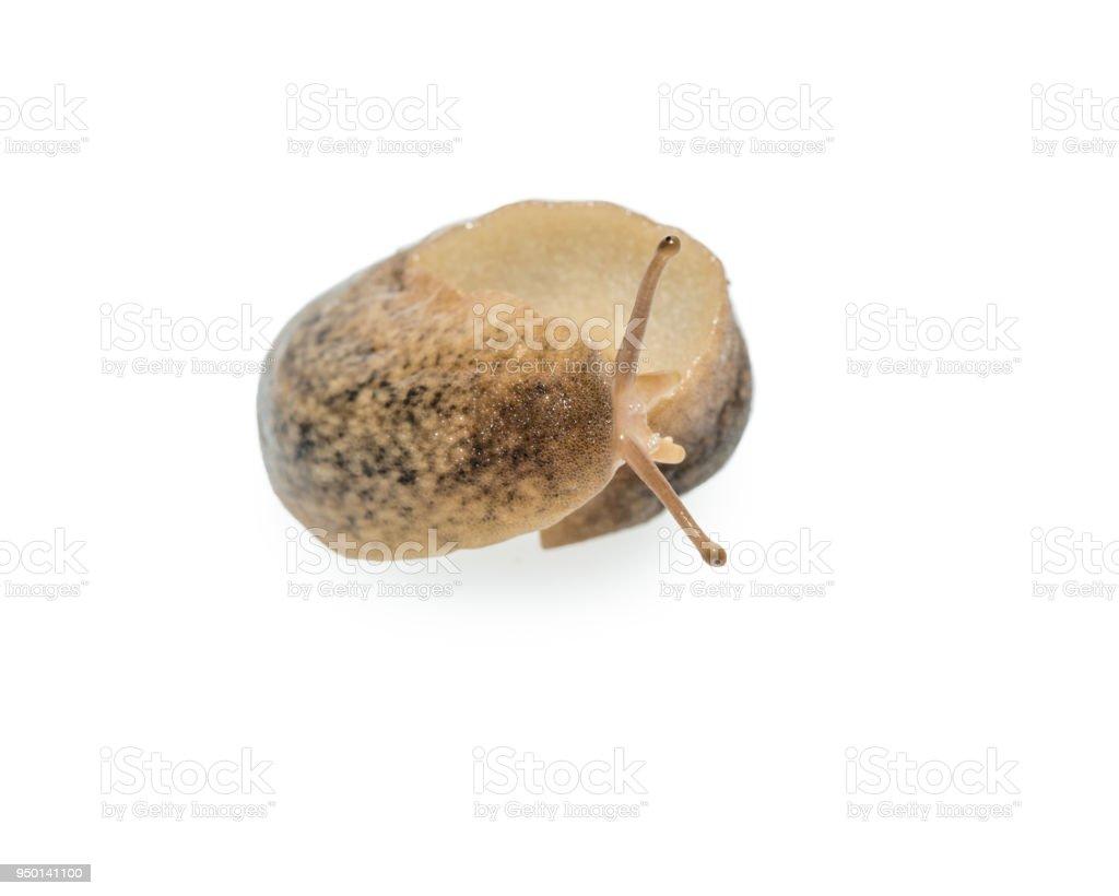 Macro of big Slug isolated on white background stock photo
