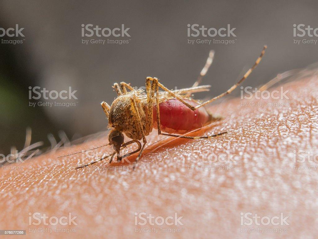 Macro of biting mosquito on the human skin stock photo
