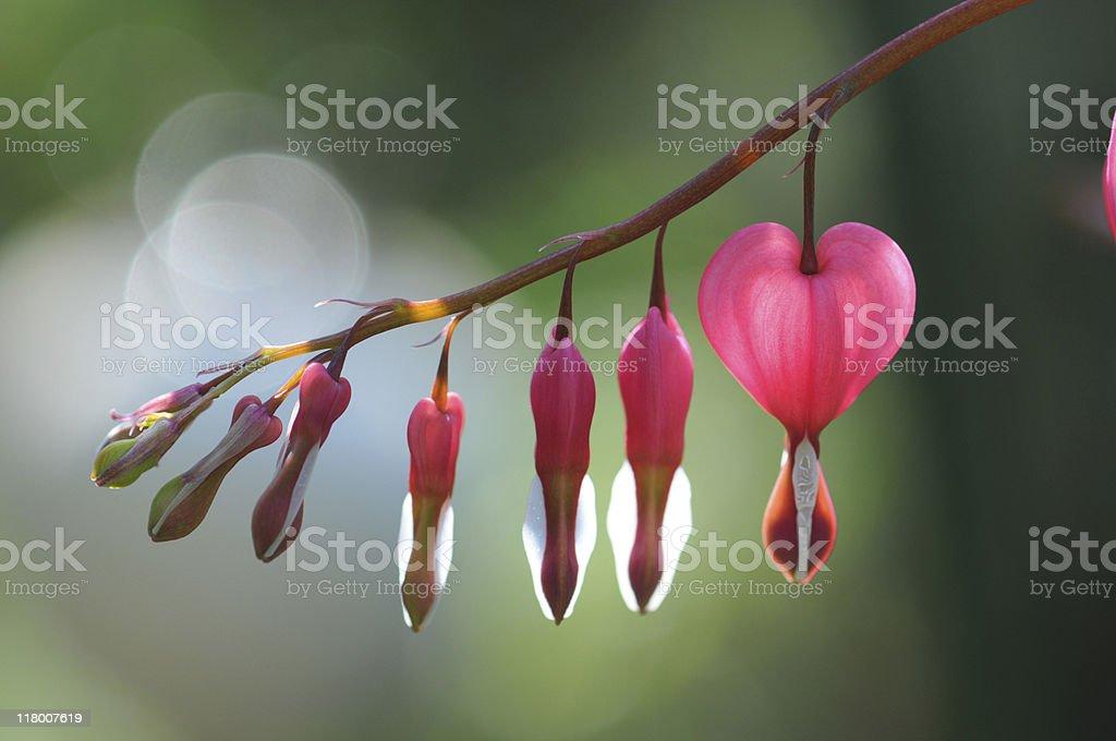 macro of bleeding heart stock photo