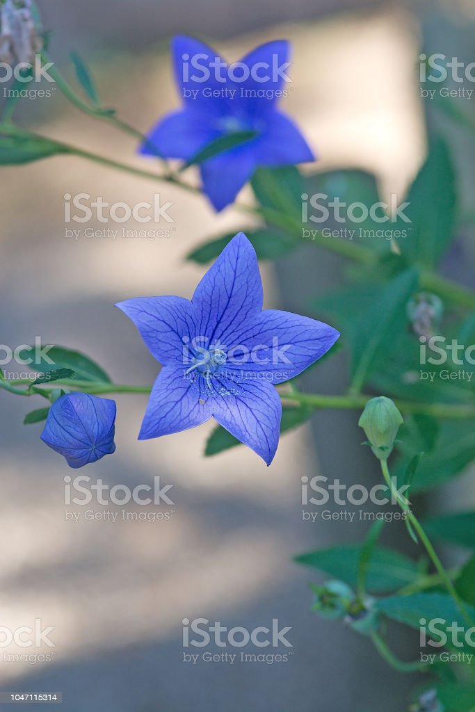 Macro Of Blue Balloon Flower Platycodon Grandiflorus With Bokeh