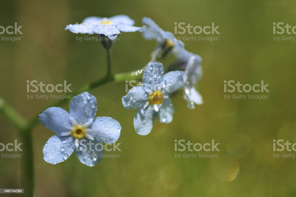 Macro of blue flowers Woodland forget-me-not, Myosotis sylvatica stock photo