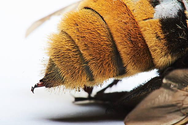 macro of bumblebee sting - stekels stockfoto's en -beelden