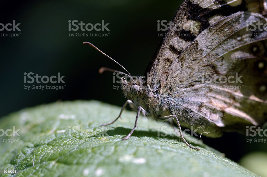 macro of butterfly on leaf eye in focus watching you royalty-free stock photo