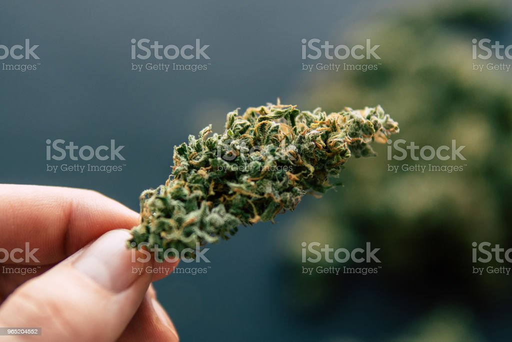 Macro of cannabis weed marijuana flowers with trichomes Cannabis bud in hand of man zbiór zdjęć royalty-free