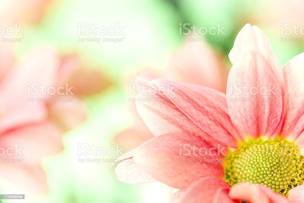 Macro of Chrysanthemum royalty-free stock photo