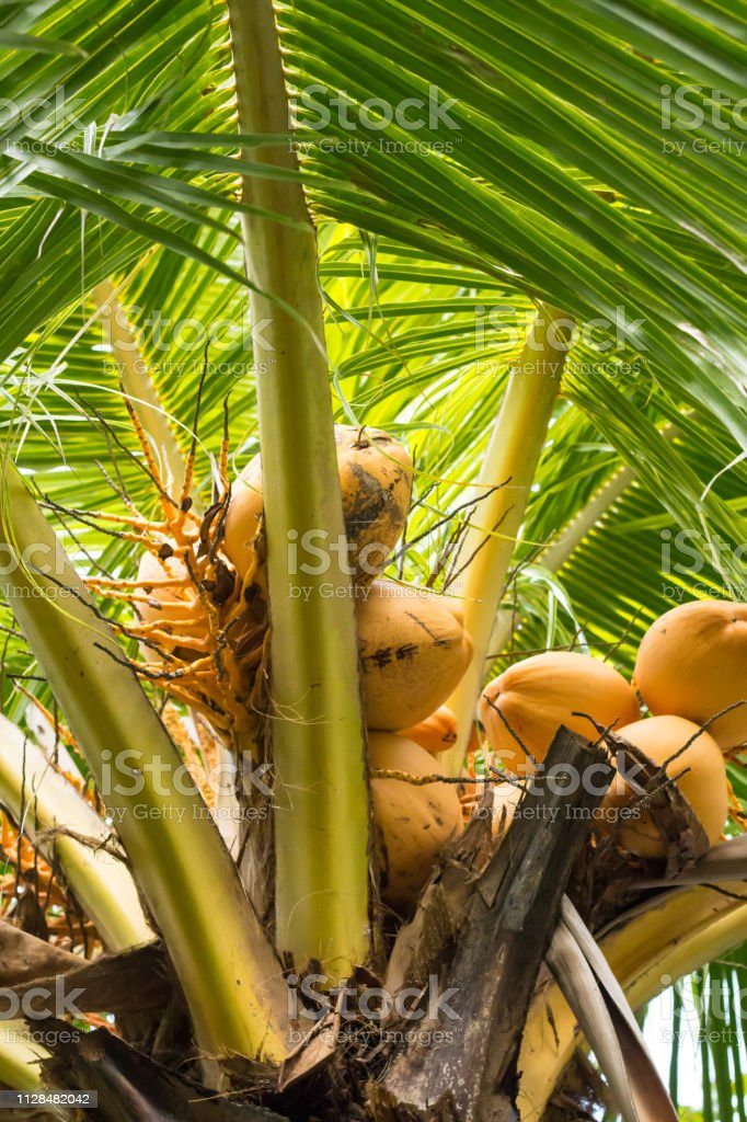 Macro of Coconut Palm Trees with Green Leaves and Coconuts in Bali...