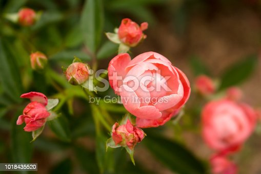 Horizontal macro photo of coral Knock Out Rose in full bloom next to fading roses.