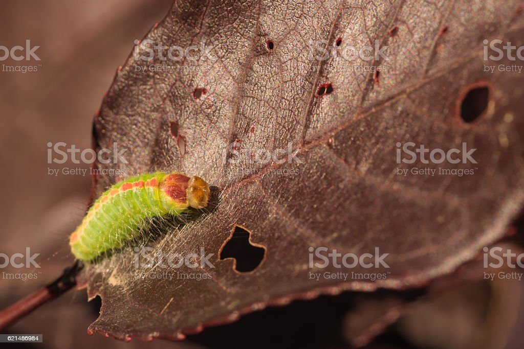 Macro of Dagger Moth Caterpillar stock photo