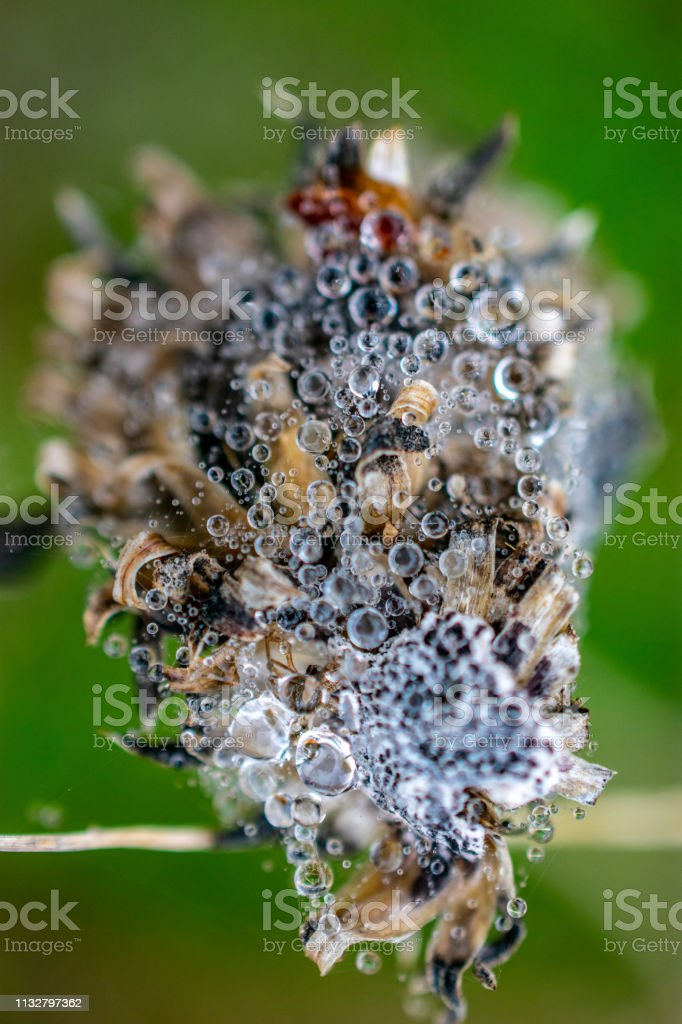 macro of dew drops on winter plant stem stock photo