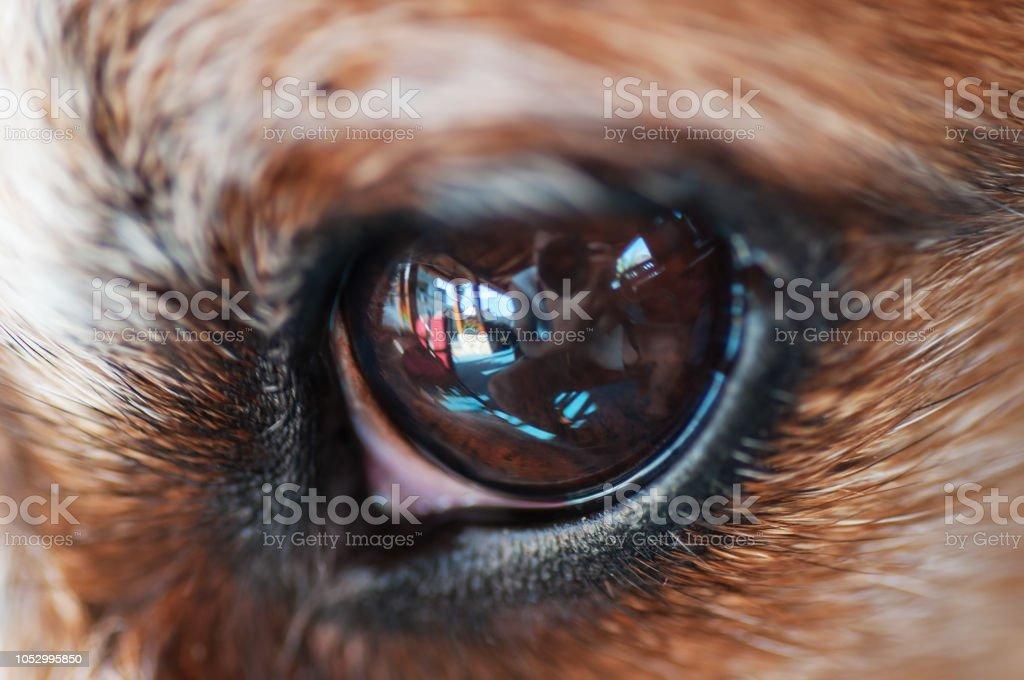 Extreme closeup of dog\'s eye reflecting a photographer taking the shot
