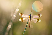 macro of dragon fly with soft focus on a meadow, germany, bavaria