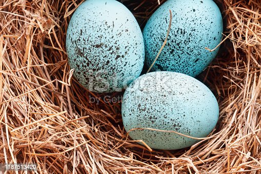 Macro of speckled Robin blue songbird eggs in a real birds nest.