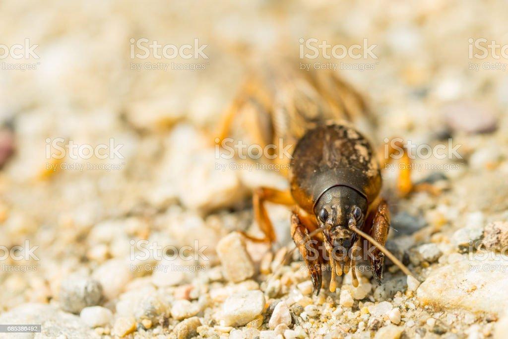 Macro of fen cricket on stones in sunny day royalty-free stock photo