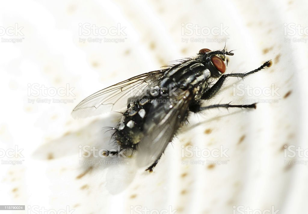 Macro Of Flesh Fly On Plate royalty-free stock photo