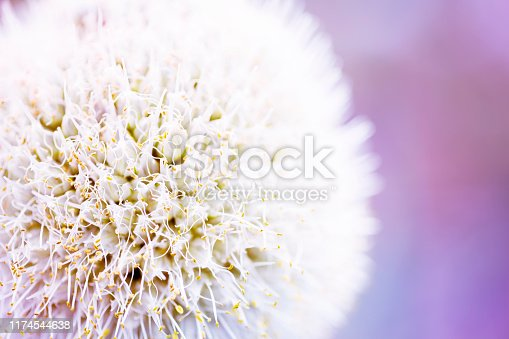 Macro of fresh leek onion flowers isolated on purple background.close up.onion flowers bloom.