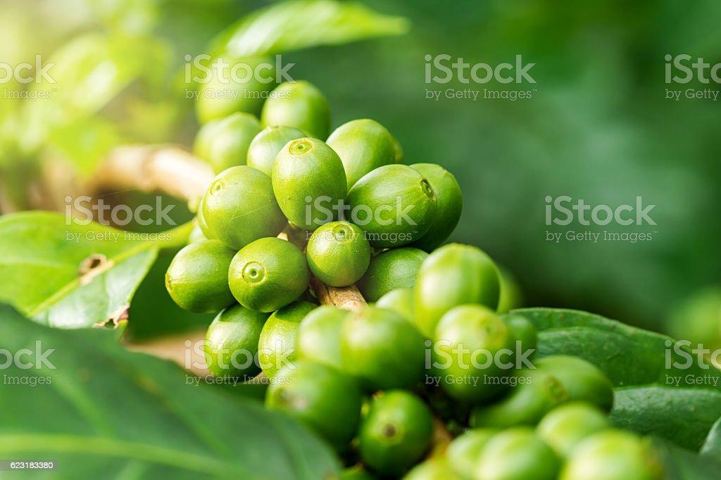 Macro of green coffee berries stock photo