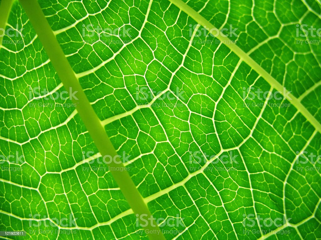macro of green leaf with veins stock photo