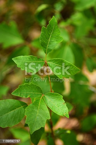 Close up of poison Ivy leaves in groups of three with characteristic lobes on leaves. Photo taken at Blackwater River state forest in northwest Florida. Nikon D7200 with Nikon 200mm macro lens.