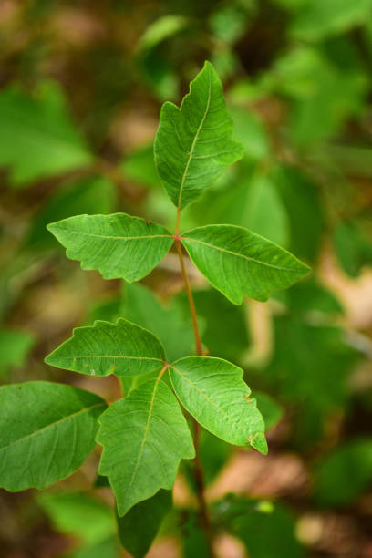 makro von gruppierten blättern auf gift-efeu - poison ivy pflanzen stock-fotos und bilder