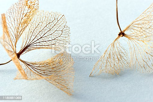 Macro closeup of brown dry delicate hortensia skeleton flower leaves on a light blue background. For use as an autumn, fall or funeral background.