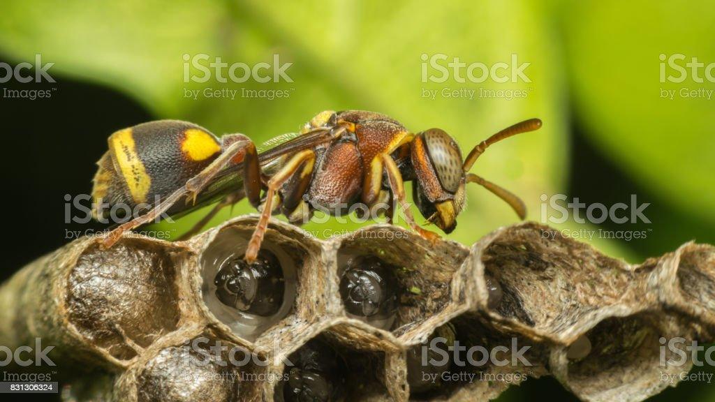 Macro de himenópteros es un gran orden de insectos, que comprende las moscas, avispas, abejas y hormigas amarillo y negro del color de cerca en el nido en la naturaleza - foto de stock