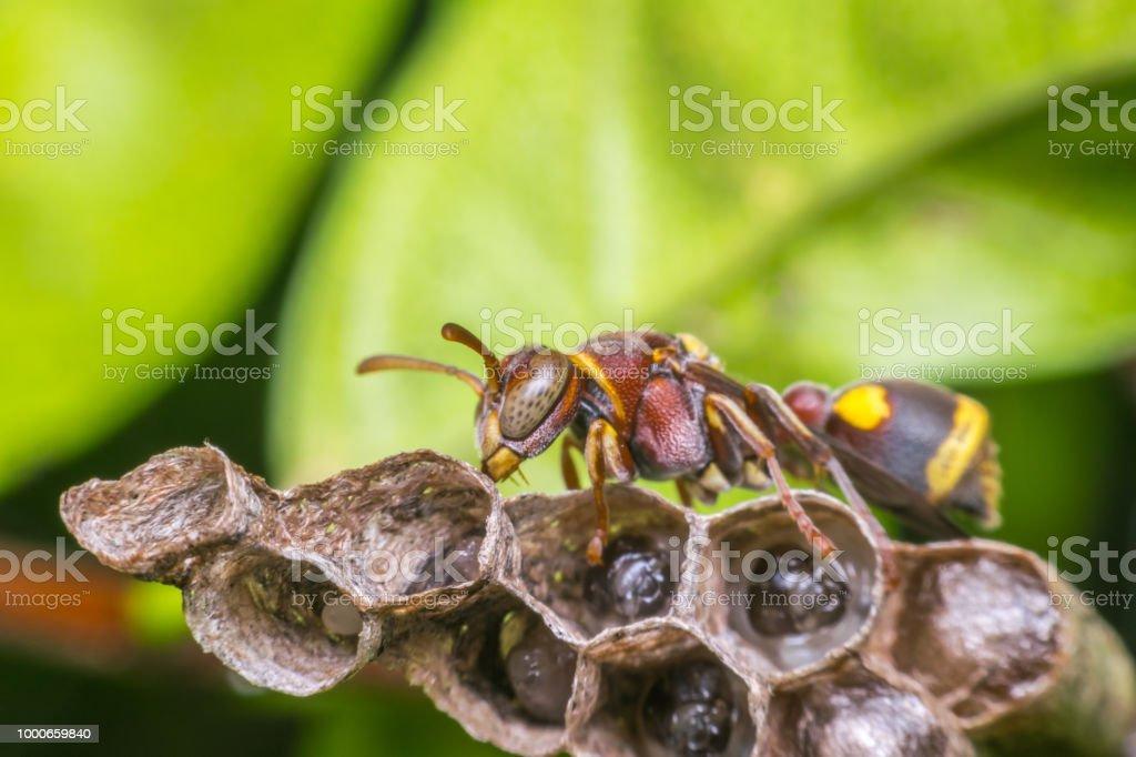 Macro de himenópteros en el nido en la naturaleza - foto de stock