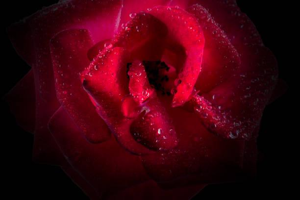 Macro of isolated red rose picture id1154992471?b=1&k=6&m=1154992471&s=612x612&w=0&h=plwuizixnwtey95v0zbzbtrmbcb0b04op411y1kheom=
