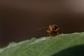 Macro of Leaf Beetle Insect is Sitting on a Leaf with Copy Space for Texts Writing.