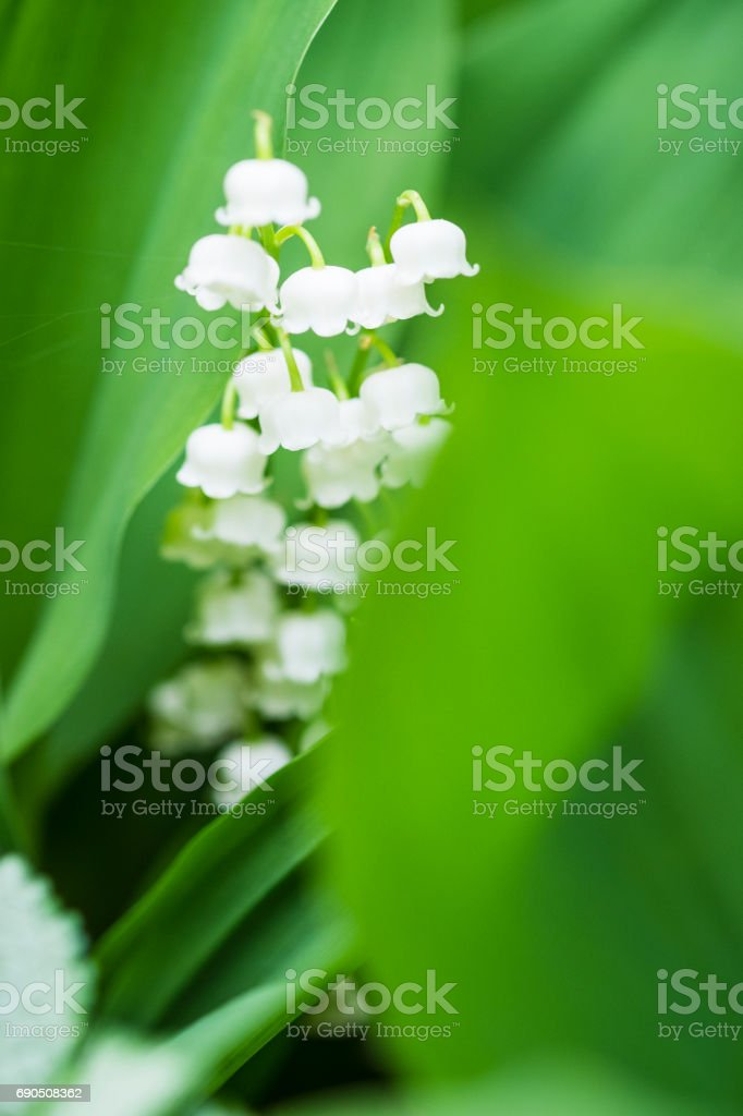 Macro Of Lily Of The Valley