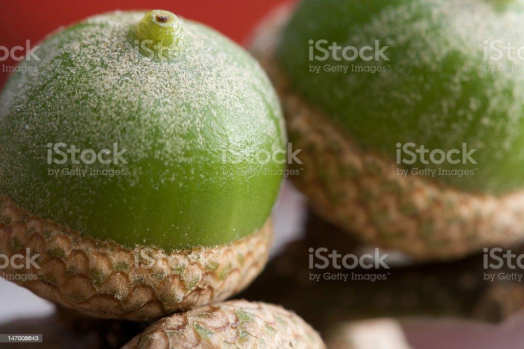 Macro of Little Green Acorns royalty-free stock photo