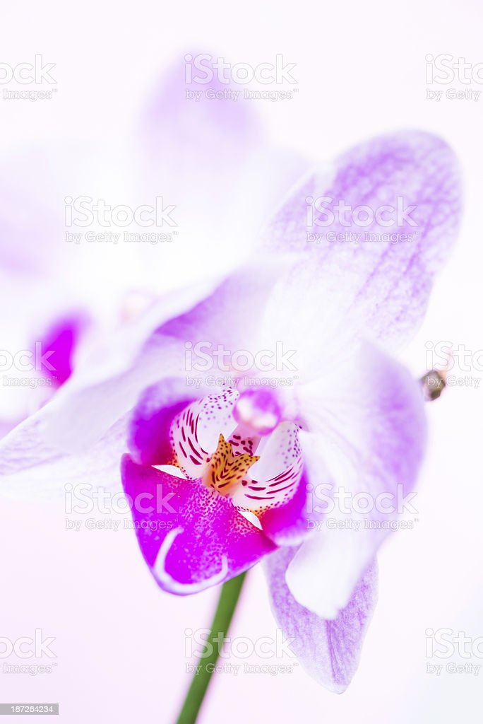 Macro of magenta orchid flower royalty-free stock photo