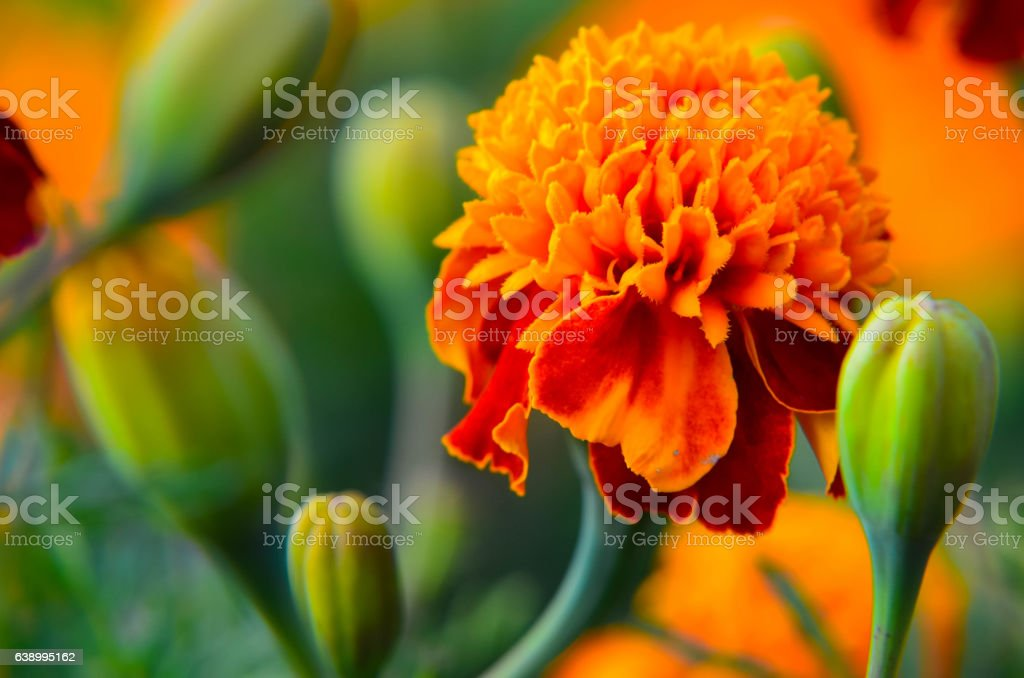 Macro of marigold flower in big close up. stock photo