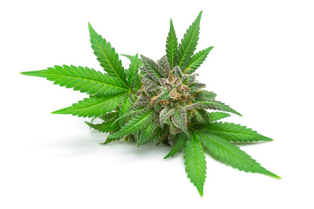 Macro of Medical Marijuana Bud or Hemp Flower with Leaves Isolated on White Background stock photo