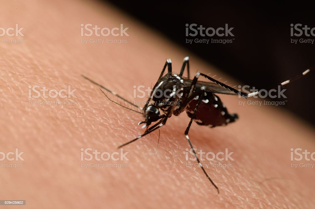 Macro of mosquito sucking blood stock photo