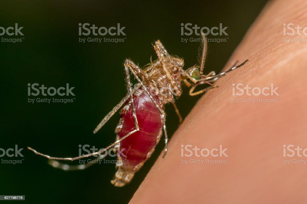 Macro of mosquito (Aedes aegypti) sucking blood stock photo