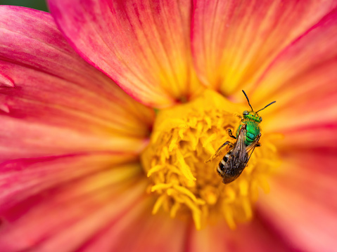 close up of orange and yellow dahlia flower petals with green bee