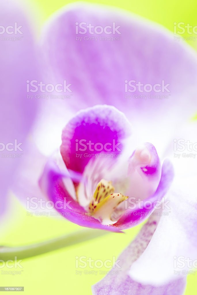 Macro of orchid flower on soft green background royalty-free stock photo
