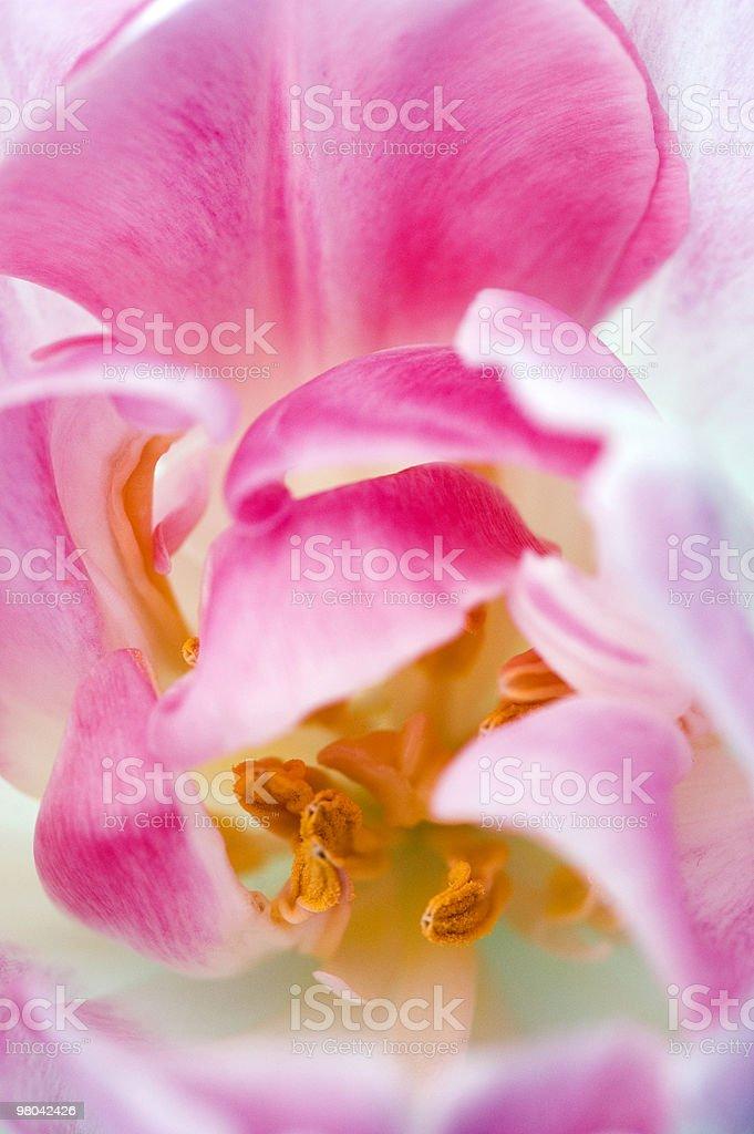 Macro of Pink Tulip royalty-free stock photo