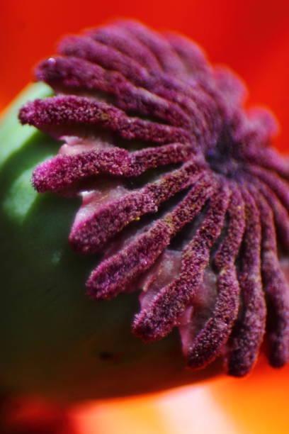 Macro of poppy boll. stock photo